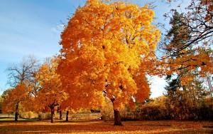 zolte_drzewa_jesien_opadle_listowie