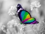 motyl teczowy